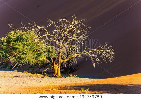 Lonely little tree in the desert. Sunset in the Namib Desert, the oldest in the world. Namibia, South Africa. The concept of extreme and exotic tourism