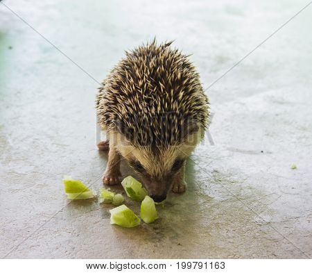 Hedgehog or Porcupine eating cucumber on concrete floor.