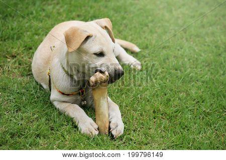 Labrador Puppy Chewing Big Bone
