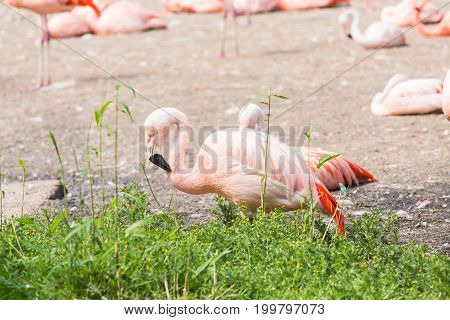 Flock of Greater Flamingo, Nice pink big bird, animal in the nature habitat.