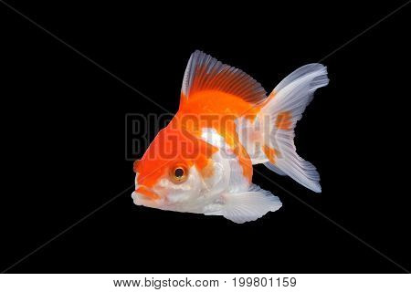 Cute gold fish isolated on black background