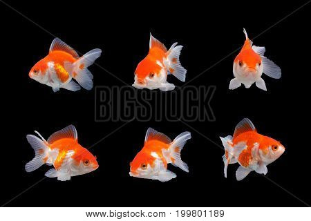 Gold fish .Capture the moving moment of  white  goldfish  isolated on black background