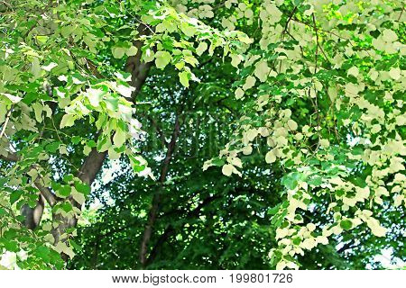 Foliage of linden tree (white leaves - back view of linden foliage) in the park