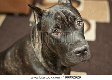 Italian Cane Corso lies on the floor and rests