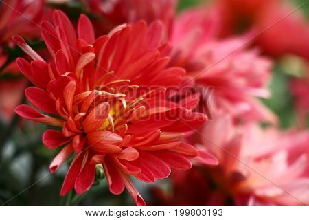 The chrysanthemum has blossomed. Large flowers with a considerable quantity of red petals have formed a bright stain.