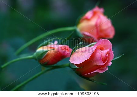 Thin runaways of a rose have bent under weight of small buds.