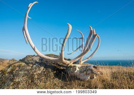The skeleton bone of dead reindeer in east region of Iceland.