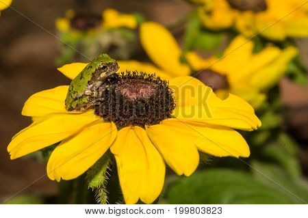 Gray Tree Frog on a flower in the garden.
