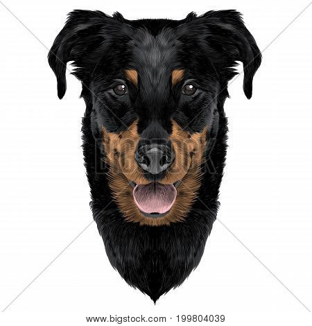French shepherd dog head sketch vector graphics color coloring