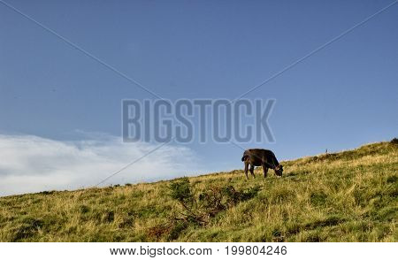 A cow is grazing in the mountains