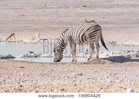 A Burchells zebra Equus quagga burchellii drinking water at a waterhole in Northern Namibia