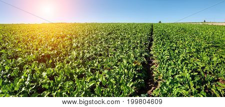 bright green leaves in Sugar beet field with sunrise