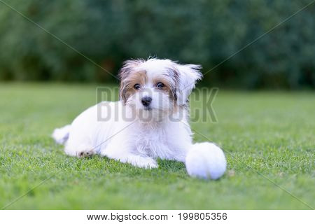 Cute Puppy With Ball Resting On Green Summer Grass