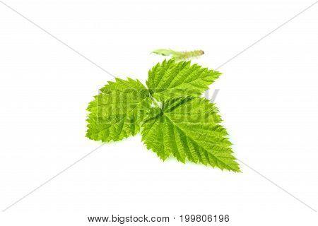 Fresh Blackberry leaf closeup isolated on white background.
