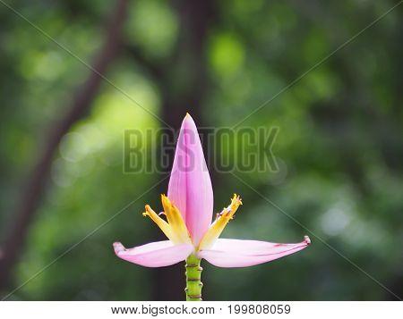 Beautiful pink banana blossom on banana tree.