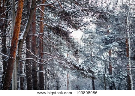 Picture of winter day with pine in frost