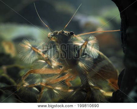 Shrimp of the genus Atiopsis. Amazingly beautiful ciapala shrimp. Live in freshwater aquariums. Open umbrella filters for water and forage. These shrimp are also called filter feeders