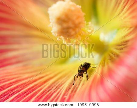 Little ant inside a huge flower. Macro