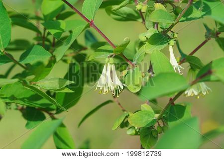 Delicate White Flowers And Immature Green Fruits On The Branches Of A Bush Of Blue Honeysuckle (lat.