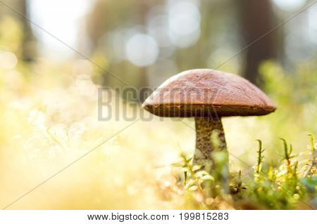 Brown mushroom in the woods. Fungus in the middle of trees and grass in forest. Sun shining. Rough-stemmed bolete, scaber stalk or birch bolete, Leccinum scabrum in Latin. Negative copy space for text