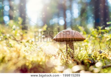 Brown mushroom in the woods. Magic forest look from dust and particles floating in the air. Sun shining. Rough-stemmed bolete, scaber stalk or birch bolete, Leccinum scabrum in Latin.