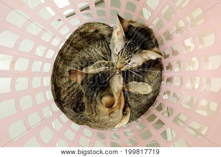 two adorable Cats kissing cuddle in basket. Lovely Couple family friends sisters time at Home. kittens cuddle snuggle lying together. poster