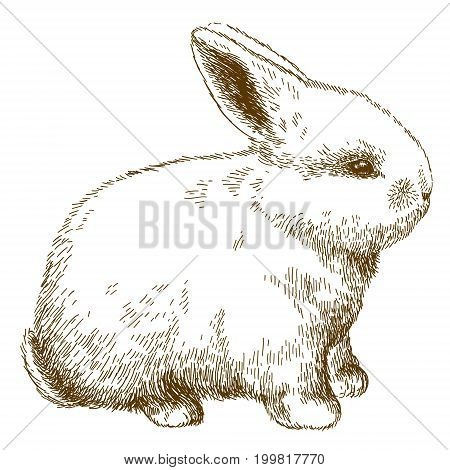 Vector antique engraving illustration of fluffy bunny isolated on white background