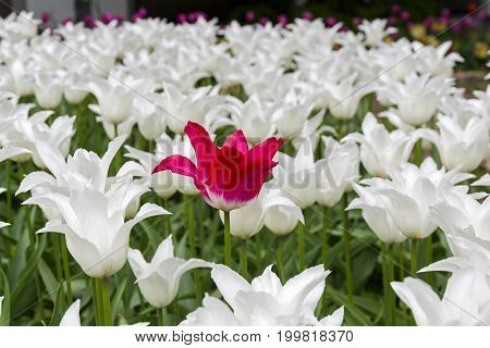 Red Tulip In A Flower Bed With White Tulips.