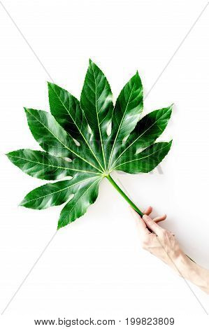Hand holds huge leaf of tropical plant on white background top view.