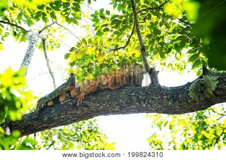Two Iguana Lizards Lying On Tree In Honduras