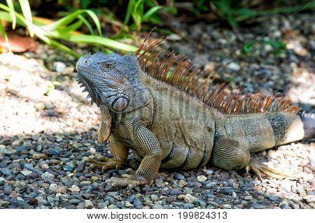Lizard Iguana With Spines Sitting On Grey Stones In Honduras