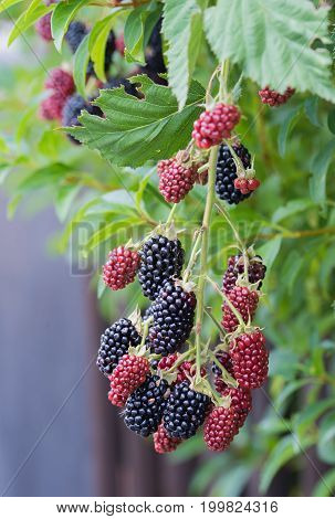 Nonspiny Bramble Berry Twig