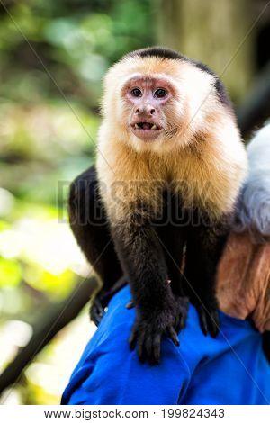 Capuchin Monkey Sitting On Male Shoulder In Honduras