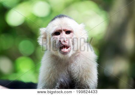 Capuchin With White Head Fur