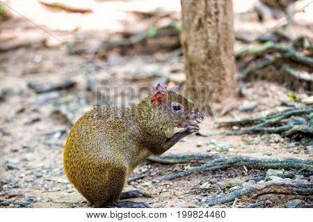 Rat Or Agouti Rodent Animal Sitting In Rainforest Of Honduras