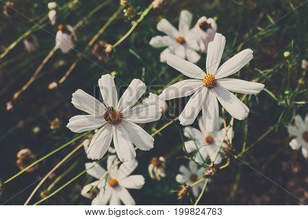 White chamomile herb in the summer field, closeup. Beautiful flower of organic useful plant.