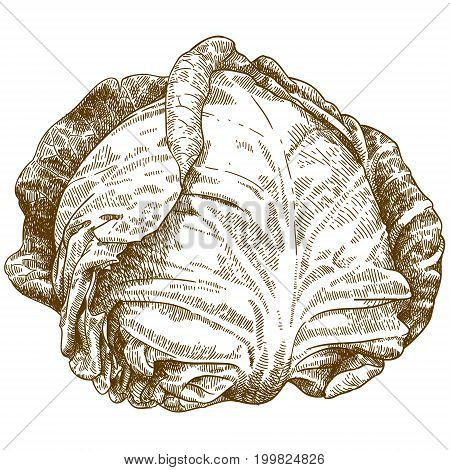 Vector antique engraving illustration of cabbage isolated on white background