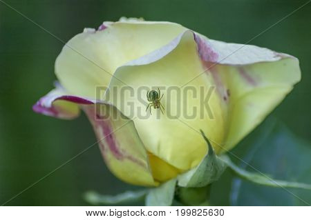 Single fresh yellow rose bloom flower with spider in the garden, Sofia, Bulgaria