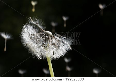Dandelion Seeds In The Morning Sunlight Blowing Away On A Black Background.