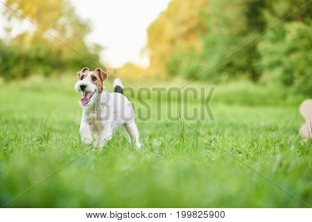 Adorable fox terrier puppy running happily in the grass at the park copyspace freedom happiness vitality positivity pets animals health concept.