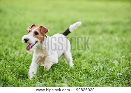 Young wire fox terrier dog running happily outdoors copyspace nature recreation lifestyle animals pets friendship trust concept.