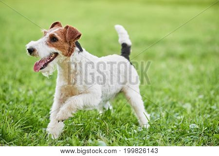 Happy and active fox terrier puppy running in the grass at the park copyspace nature recreation vitality healthcare animals pets concept.