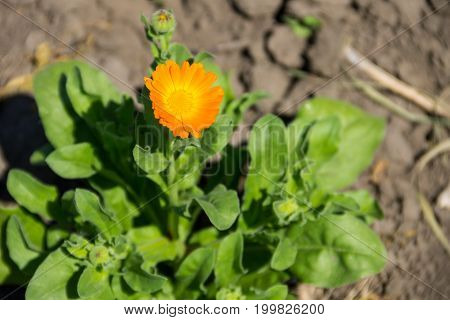 Orange calendula flower growing in the garden