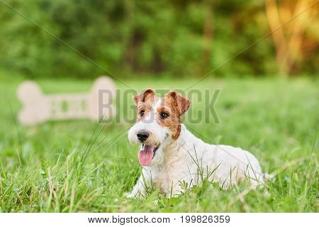 Beautiful happy and healthy fox terrier puppy lying in the grass at the park in front of a wooden 2018 sign Chinese new year celebration seasonal greeting card.