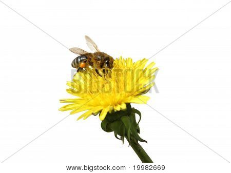 Honey bee on an yellow Dandelion flower