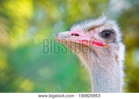 Portrait of ostrich with copy space for text