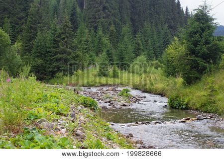 Spruce forest in the Ukrainian Carpathians. Sustainable clear ecosystem. Mountain river