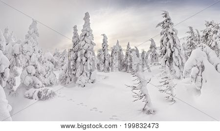 Majestic Snow-covered Winter Forest Glowing By Sunlight. Dramatic Wintry Scene
