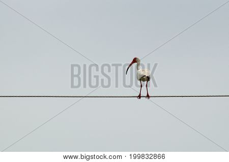 A large white ibis bird with long curved red beak is perching on a think metal cable high in the sky in bonita Springs Florida.