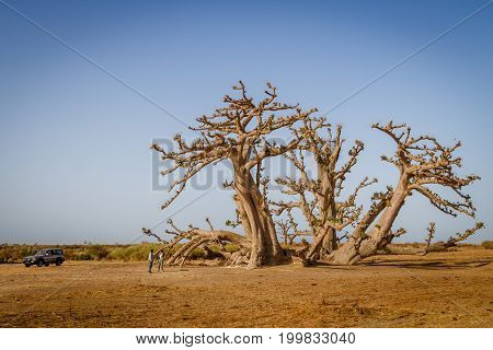 Senegal Africa - April 26 2016: Tourist with guide standing talking under a huge baobab tree in the dry savannah of south west Senegal.